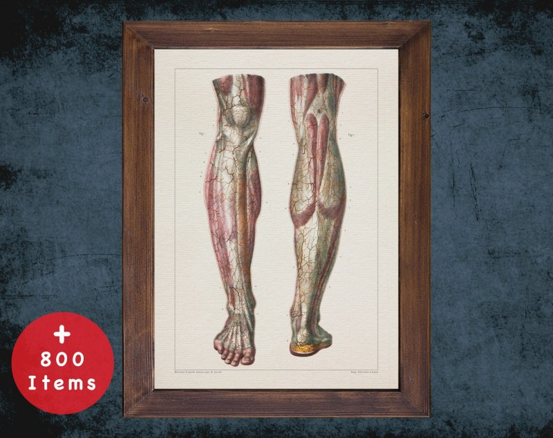 Anatomy art, CALF LEG MUSCLE, medical student gift, therapist and Physical therapy, doctor office decor