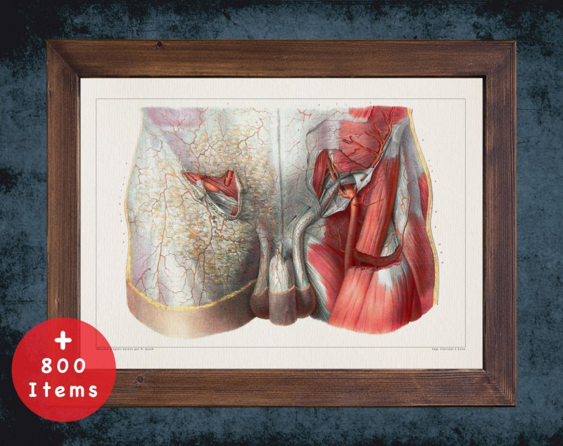 Anatomy art, PELVIS MUSCLE VEIN, medical student gift, therapist and Physical therapy, doctor office decor