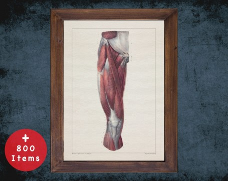 Anatomy art, LEG MUSCLE KNEE, medical student gift, therapist and Physical therapy, doctor office decor