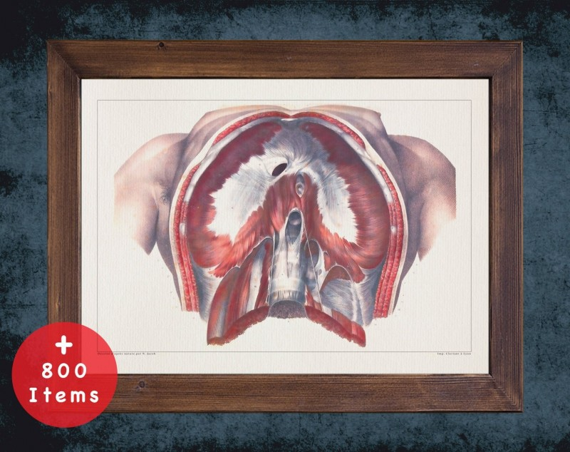 Anatomy art, DIAPHRAGM ABDOMINAL VIEW, medical student gift, therapist and Physical therapy, doctor office decor