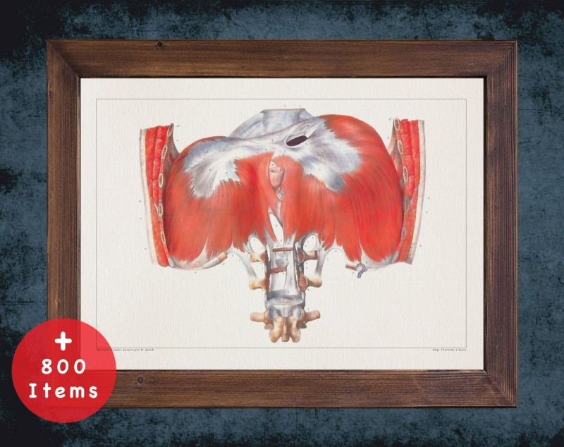 Anatomy art, DIAPHRAGM THORAX MUSCLE, medical student gift, therapist and Physical therapy, doctor office decor