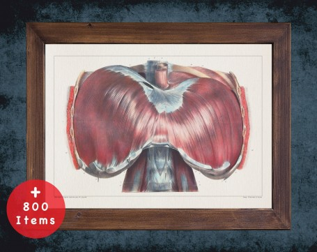 Anatomy art, DIAPHRAGM THORAX ABDOMEN, medical student gift, therapist and Physical therapy, doctor office decor