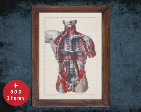 Anatomy art, TORSO BONES MUSCLES, medical student gift, therapist and Physical therapy, doctor office decor