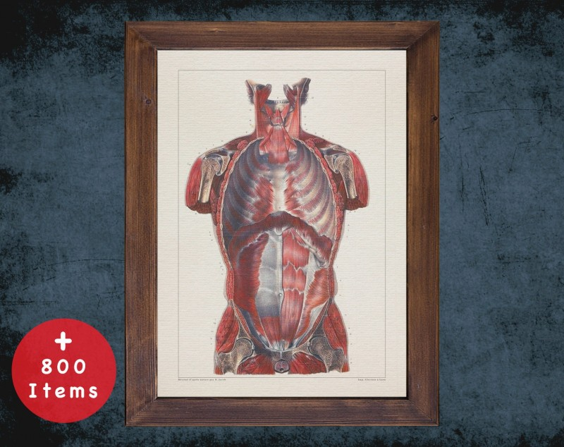 Anatomy art, TORSO VERTICAL CUT, medical student gift, therapist and Physical therapy, doctor office decor