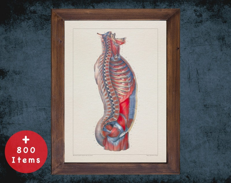 Anatomy art, SPINE TORSO MUSCLES, medical student gift, therapist and Physical therapy, doctor office decor