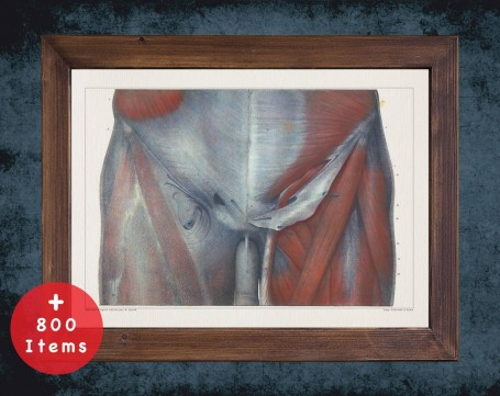 Anatomy art, ABDOMINAL HIP MUSCLE, medical student gift, therapist and Physical therapy, doctor office decor