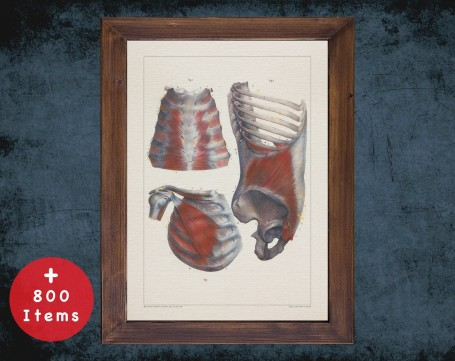 Anatomy art, RIB STERNUM MUSCLE, medical student gift, therapist and Physical therapy, doctor office decor