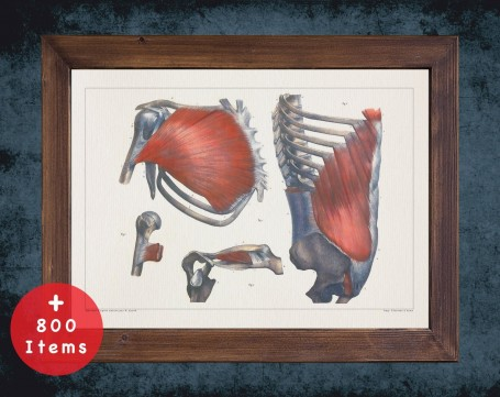 Anatomy art, SHOULDER CLAVICLE MUSCLE, medical student gift, therapist and Physical therapy, doctor office decor
