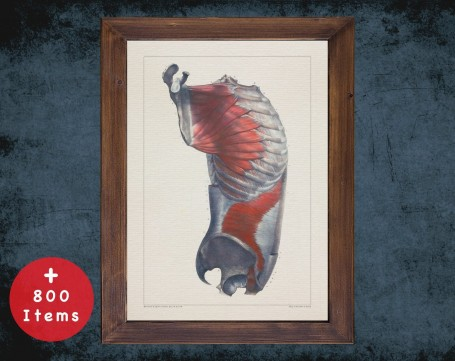 Anatomy art, CHEST RIB PELVIS, medical student gift, therapist and Physical therapy, doctor office decor
