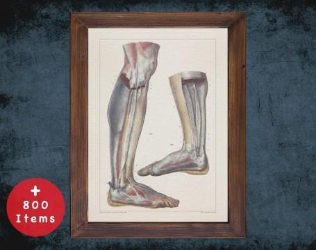 Anatomy art, KNEE MUSCLE ANKLE, medical student gift, Rheumatologist and Rheumatology, doctor office decor