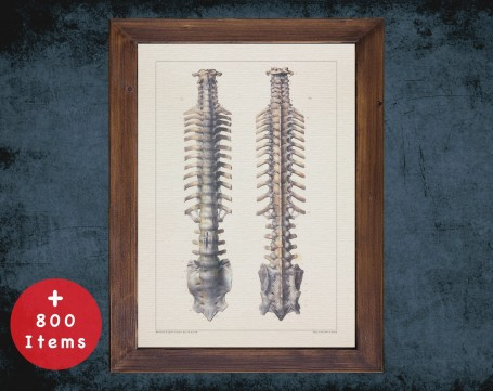 Anatomy art, VERTEBRA SPINAL VERTEBRAL, medical student gift, Radiologist and Radiology, doctor office decor
