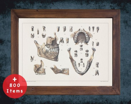 Anatomy art, TEETH JAW Bones ROOT, medical student gift, Dentist and Dentistry, doctor office decor
