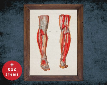 Anatomy art, HEEL KNEE MUSCLE, medical student gift, Podiatrist and Podiatry, doctor office decor