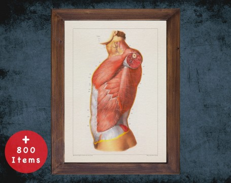 Anatomy art, PECTORAL ABDOMINAL MUSCLE, medical student gift, Chiropractor and Chiropractic, doctor office decor