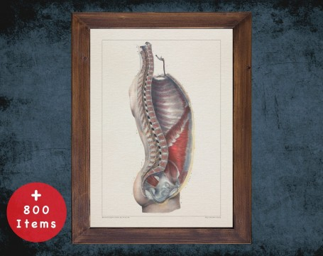 Anatomy art, TORSO RIB CAGE, medical student gift, Chiropractor and Chiropractic, doctor office decor