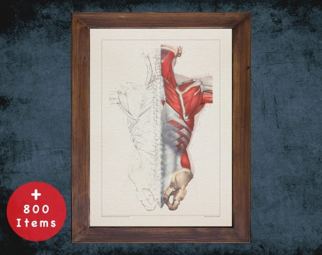 Anatomy art, SPINAL MUSCLE BONES, medical student gift, Chiropractor and Chiropractic, doctor office decor