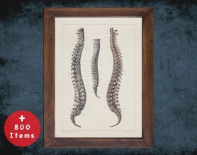 Anatomy art, SPINAL VERTEBRA BONES, medical student gift, Chiropractor and Chiropractic, doctor office decor