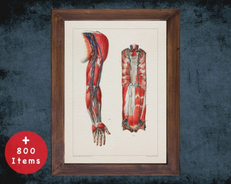 Anatomy art, BRACHIAL ARTERY ARM, medical student gift, cardiologist and cardiology, doctor office decor
