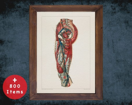 Anatomy art, FEMORAL ARTERY VEIN, medical student gift, cardiologist and cardiology, doctor office decor
