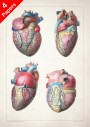 Anatomy art, heart myocardial muscle, medical student gift, cardiologist and cardiology, doctor office decor
