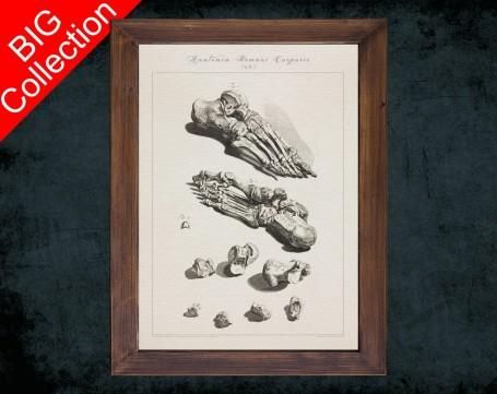 Human Anatomy, medical student gift,, doctor office decor, METATARSAL CALCANEUS BONES anatomical poster