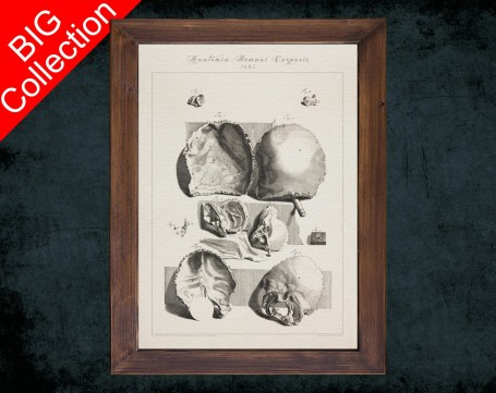 Human Anatomy, medical student gift,, doctor office decor, OCCIPITAL PARIETAL BONES anatomical poster