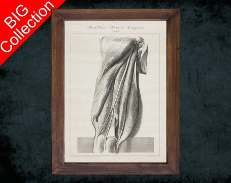 Human Anatomy, medical student gift,, doctor office decor, THIGH GRACILIS MUSCLE anatomical poster
