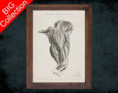 Human Anatomy, medical student gift,, doctor office decor, BICEPS ELBOW MUSCLE anatomical poster