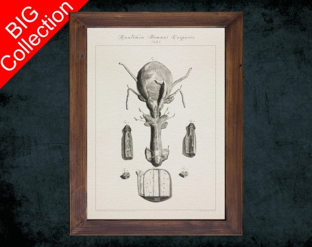 Human Anatomy, medical student gift,, doctor office decor, PENIS CORPUS CAVERNOSUM anatomical poster