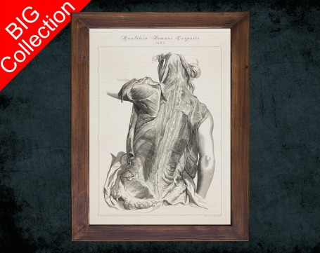Human Anatomy, medical student gift,, doctor office decor, GLUTEALS TRAPEZIUS DELTOID anatomical poster
