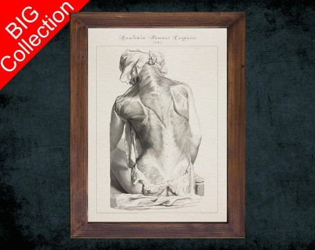 Human Anatomy, medical student gift,, doctor office decor, SPLENIUS TRAPEZIUS DELTOID anatomical poster