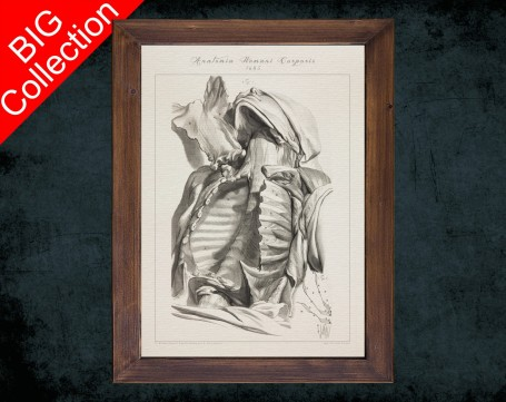Human Anatomy, medical student gift,, doctor office decor, CLAVICLE STERNUM CHEST anatomical poster