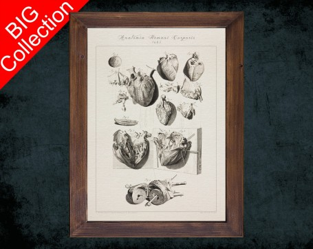 Human Anatomy, medical student gift,, doctor office decor, HEART ATRIUM VENTRICLE anatomical poster