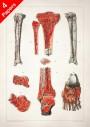 Anatomy art, BONE BLOOD TISSUE, medical student gift, Orthopedist and Orthopedic, doctor office decor