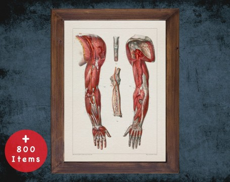 Anatomy art, ARM SHOULDER MUSCLE, medical student gift, Orthopedist and Orthopedic, doctor office decor