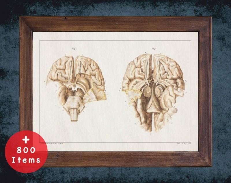 Anatomy art, BRAIN NEVROLOGY DISSECTION, medical student gift, Neurologist and Neurology, doctor office decor