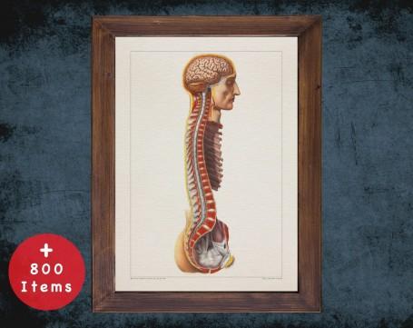 Anatomy art, BRAIN SPINAL CORD, medical student gift, Neurologist and Neurology, doctor office decor