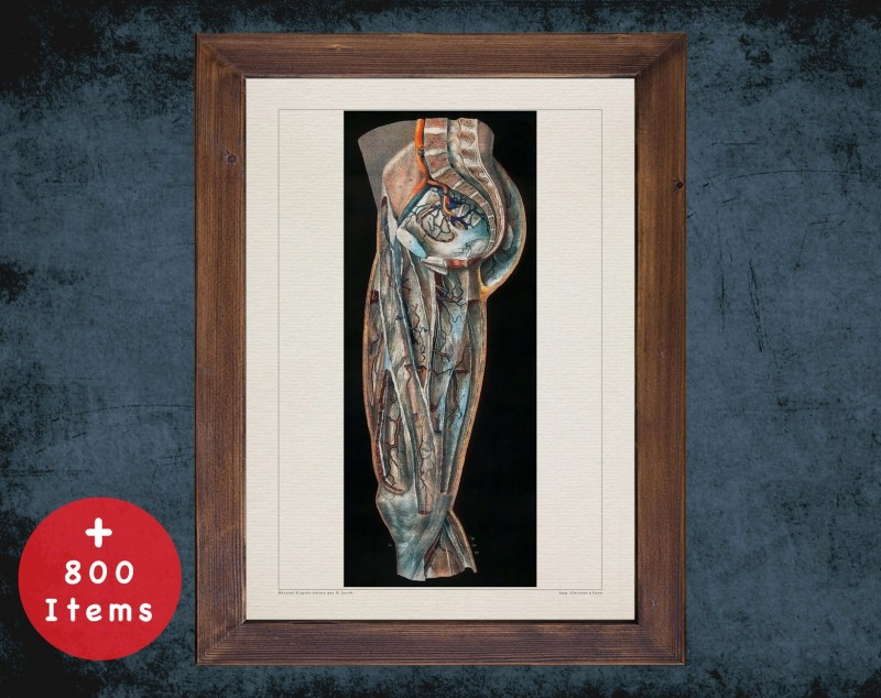 Anatomy art, THIGH HIP ARTERY, medical student gift, Vessel blood and Vascular surgery, doctor office decor