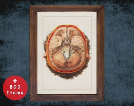 Anatomy art, LOBES PARIETAL OCCIPITAL, medical student gift, neuroscience and Neurosurgery, doctor office decor