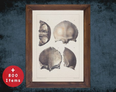 Anatomy art, SKULL CRANIAL BONE, medical student gift, neuroscience and Neurosurgery, doctor office decor