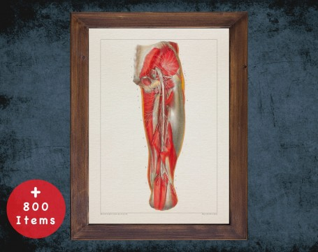 Anatomy art, SACRAL PLEXUS NERVES, medical student gift, osteopaths and osteopathy, doctor office decor