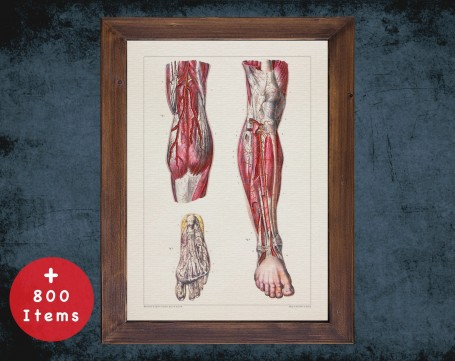 Anatomy art, LEG ARTERY FOOT, medical student gift, osteopaths and osteopathy, doctor office decor