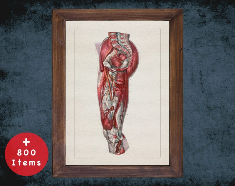 Anatomy art, BUTTOCK ARTERY MUSCLE, medical student gift, osteopaths and osteopathy, doctor office decor