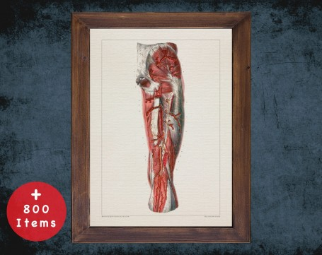 Anatomy art, LEG ARTERY MUSCLE, medical student gift, osteopaths and osteopathy, doctor office decor