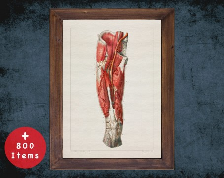 Anatomy art, THIGH ARTERY KNEE, medical student gift, osteopaths and osteopathy, doctor office decor