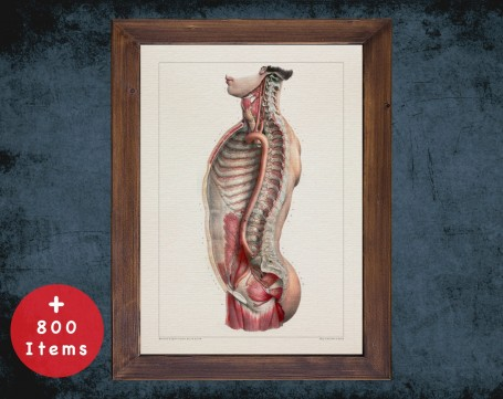 Anatomy art, TORSO AORTA ARTERY, medical student gift, osteopaths and osteopathy, doctor office decor
