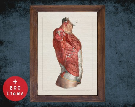 Anatomy art, TORSO CHEST MUSCLE, medical student gift, osteopaths and osteopathy, doctor office decor