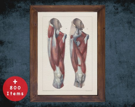 Anatomy art, THIGH MUSCLE HIP, medical student gift, osteopaths and osteopathy, doctor office decor