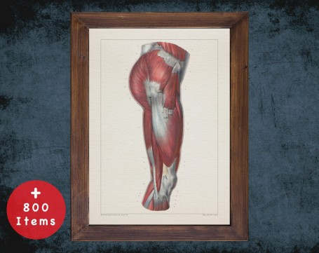 Anatomy art, THIGH MUSCLE LEG, medical student gift, osteopaths and osteopathy, doctor office decor