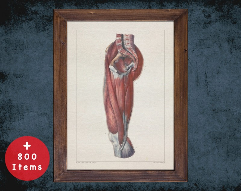 Anatomy art, THIGH MUSCLE SPINE, medical student gift, osteopaths and osteopathy, doctor office decor